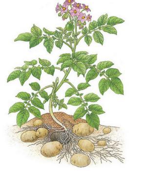 Куст картофеля