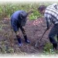 Люди выкапывают картошку