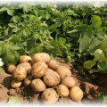 Куст и картофель на полу