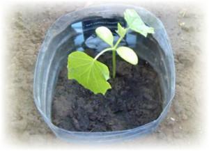 Выращивание огурцов в пластиковых бутылках: богатый урожай на балконе