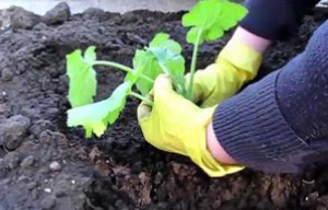 Когда сажать семена кабачков в открытом грунте 124