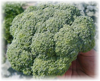brokkoli_agasi