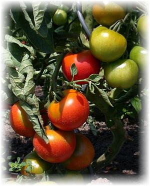 kust_pomidori