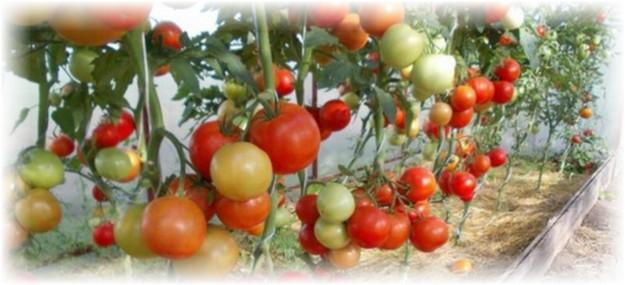 mnogo_pomidorov