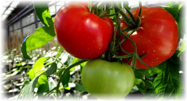 pomidor_na_kustu