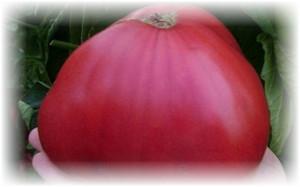 pomidor_rozovyi