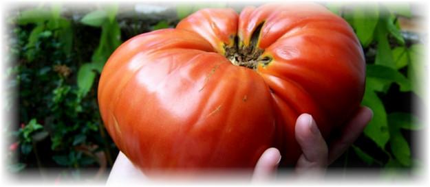 pomidor_v_rukah