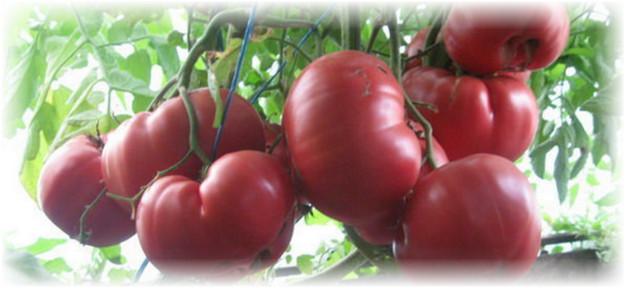 pomidori_rozovij_med