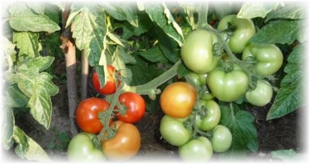 pomidori_sanka
