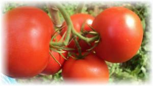 pomidory_evpator