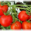 Куст спелых томатов