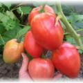 томат на кусте