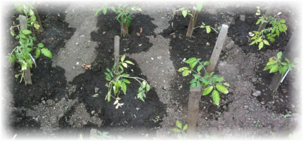 Помидоры выращивание и уход в открытом грунте