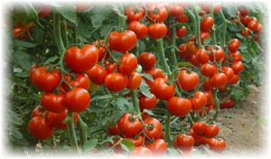 mnogo_tomatov