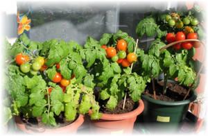 pomidori_malenkie