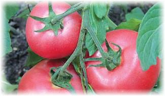 rozovie_pomidori