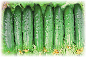 Огурец Зозуля — характеристики сорта и выращивание