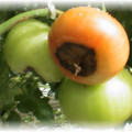 Що таке помідор
