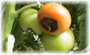 pomidor_bolezn
