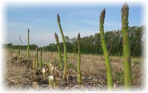 asparagus_v_zemle