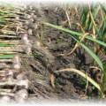 чеснок выкопанный и в земле