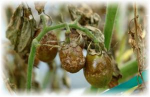 fitomorfoz_y_plodov_tomata