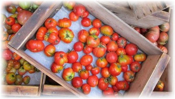 pomidory_v_yshike_doma