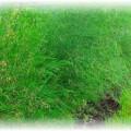 спаржа на огороде