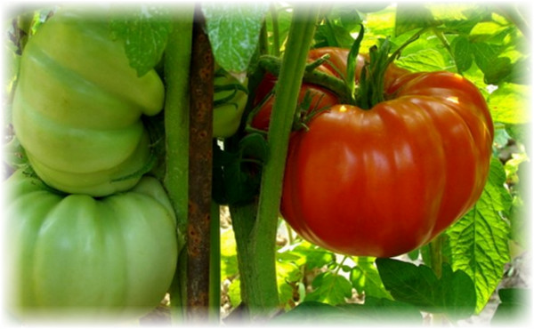 tri_pomidora