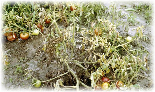 uvidanie_pomidorov