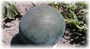 арбуз сорта огонек