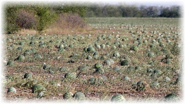 растущая бахча в поле
