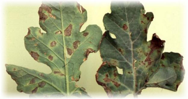 пораженные листья арбуза