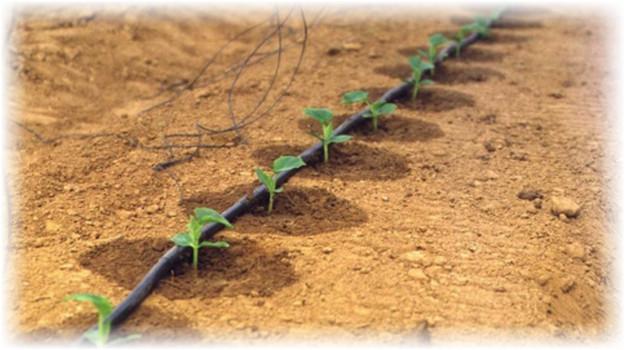 полив арбузов с помощью орашителя в огороде