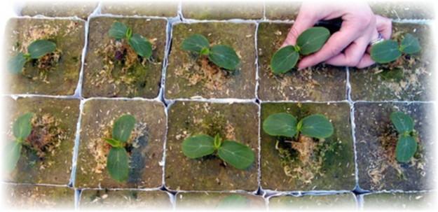 ростки арбуза в горшочках