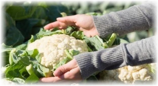 сбор урожая цветной капусты