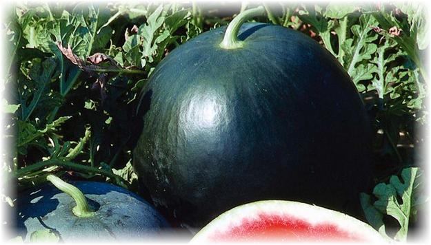 арбуз черный принц выращенный на юге