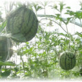 подвешенные арбузы в теплице