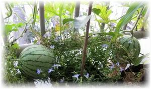 арбуз растет в доме