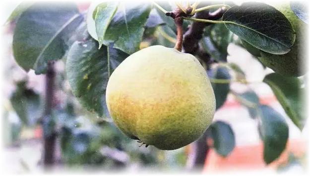 бергамот мускатный зеленая груша