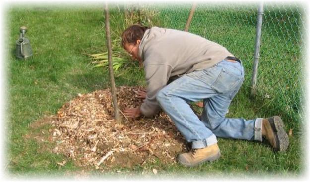 человек выращивает грушу