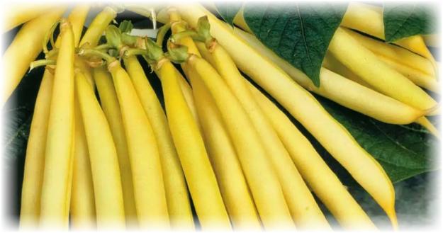 фасоль сорта золотой нектар