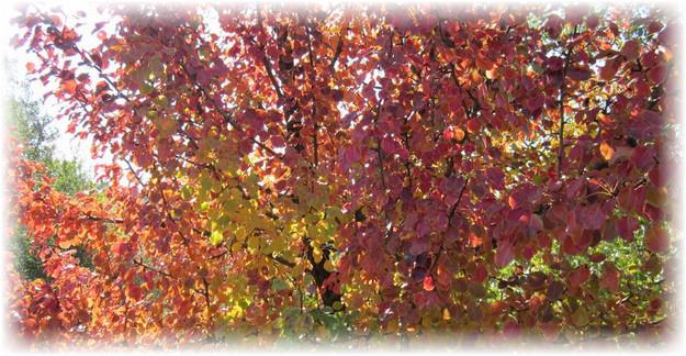 груша с красно желтыми листьями