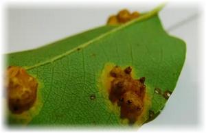 испорченный лист груши