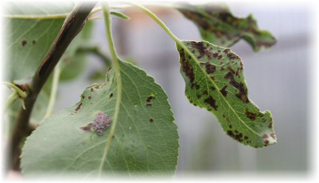 листья зараженные паршой