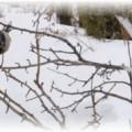обрезка ветви груши