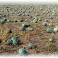 плантация арбузов