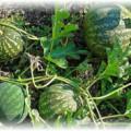 урожай арбуза