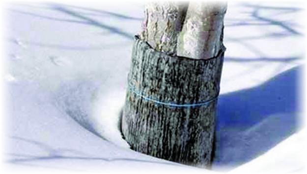 защита груши зимой