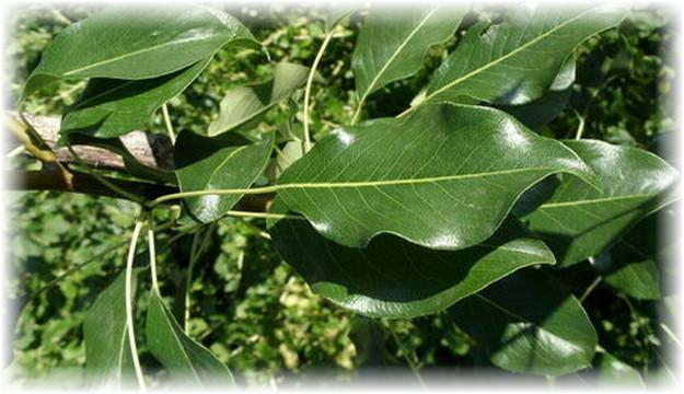 целебные листья